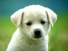 White dog,pets, animals