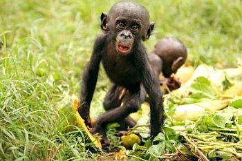 "Pic Courtesy science daily saying,""This is an infant bonobo feeding on papaya. (Credit: Jingzhi Tan)"""