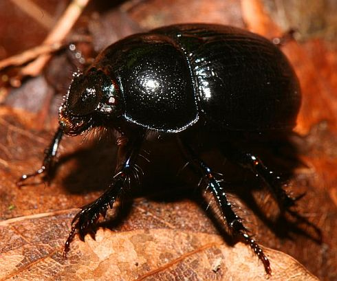 Dung beetles move watching stars,South African species,Dung Beetle