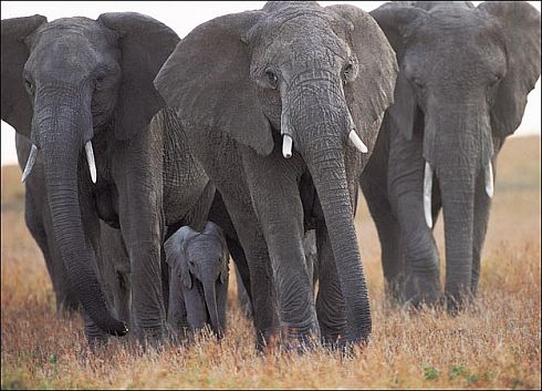 Elephants,wild elephants in Jharkhand.