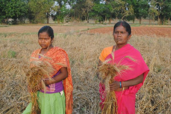 Ranchi, Jharkhand 30 April 2015 :: Women farmer show wheat crop that was damaged in unseasonal rainfall and hailstorms at a village on the outskirt of Ranchi on Thursday. Photo- Ratan Lal