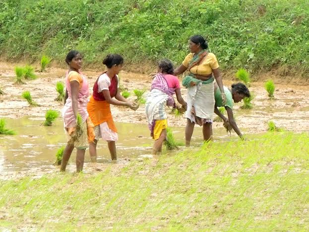 *Ratan Lal's pictures show women sowing paddy seeds in their feilds in Ranchi.