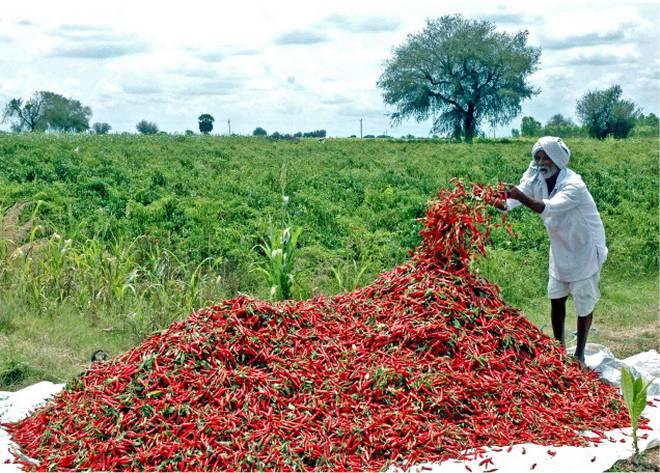 chilli-farmer